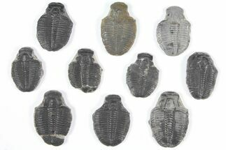 "Wholesale Lot: 1-1.25"" Elrathia Trilobite Molt Fossils - 10 Pieces For Sale, #92099"