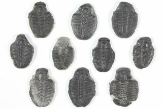 "Wholesale Lot: 1-1.25"" Elrathia Trilobite Molt Fossils - 10 Pieces For Sale, #92102"