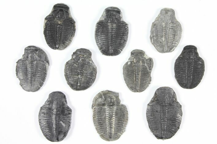 "Lot: 1"" Elrathia Trilobite Molt Fossils - 10 Pieces"