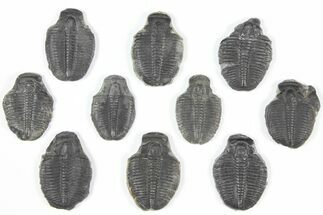 "Buy Wholesale Lot: 1"" Elrathia Trilobite Molt Fossils - 10 Pieces - #92113"