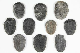 "Buy Wholesale Lot: 1.25 to 1.5"" Elrathia Trilobite Fossils - 10 Pieces - #92128"