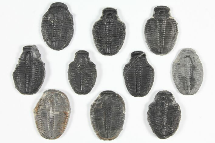 "Wholesale Lot: 1.25 to 1.5"" Elrathia Trilobite Fossils - 10 Pieces"