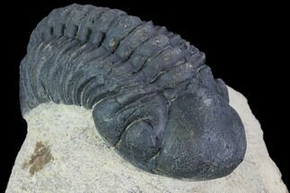 "Bargain, 2.5"" Reedops Trilobite - Foum Zguid, Morocco For Sale, #91925"