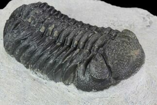 "Bargain, 2.1"" Barrandeops Trilobite - Morocco For Sale, #92180"