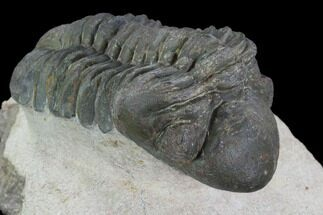 "Bargain, 2.5"" Reedops Trilobite - Laatchana, Morocco For Sale, #92333"