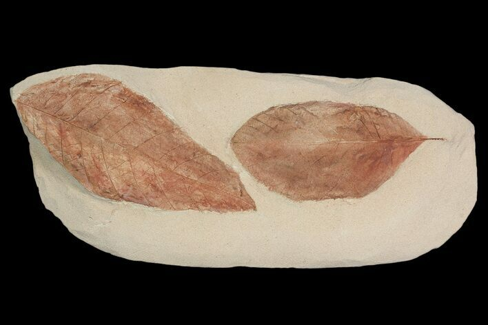 Two Detailed Fossil Leaves (Cyclocarya & Dyrana) - Montana