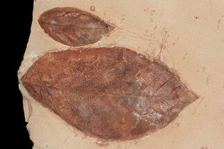 Buy Two Detailed Fossil Leaves (Aesculus & Rhamnites) - Montana - #92605