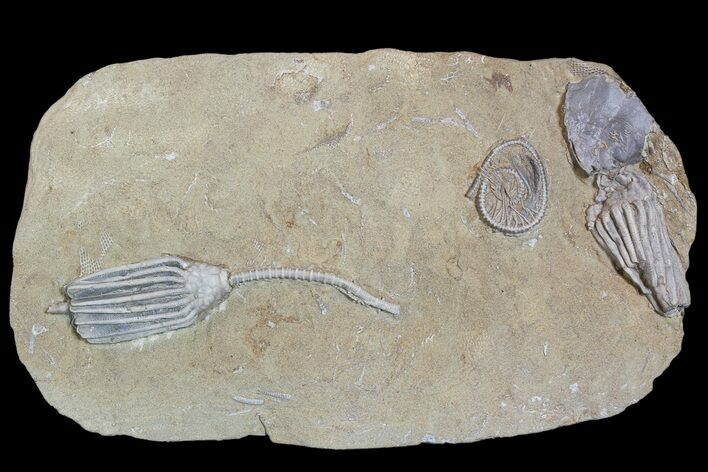 3 Crinoids and One Gastropod on One Plate - Crawfordsville, Indiana