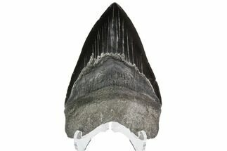 Carcharocles megalodon - Fossils For Sale - #92691