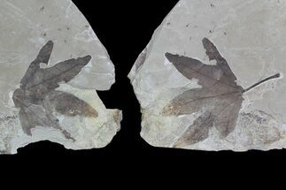 Platanus wyomingensis - Fossils For Sale - #92868