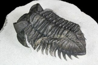 "1.9"" Coltraneia Trilobite Fossil - Huge Faceted Eyes For Sale, #92939"
