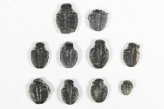 "Wholesale Lot: 1/2"" Elrathia Trilobite Molt Fossils - 10 Pieces For Sale, #92003"