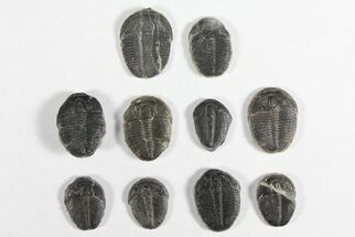 "Lot: 3/4"" Elrathia Trilobites - 10 Pieces For Sale, #92015"