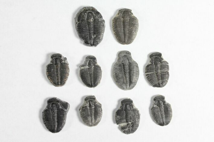 "Wholesale Lot: 3/4"" Elrathia Trilobite Molt Fossils - 10 Pieces"