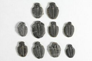 "Buy Wholesale Lot: 3/4"" Elrathia Trilobite Molt Fossils - 10 Pieces - #92053"