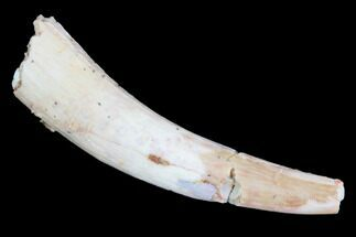 "Buy Bargain, .92"" Pterosaur (Coloborhynchus) Tooth - Morocco - #93181"