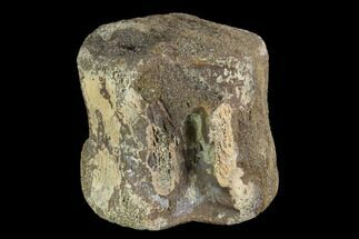 "2.7"" Hadrosaur Vertebra Centrum - Alberta (Disposition #000024-25) For Sale, #93230"