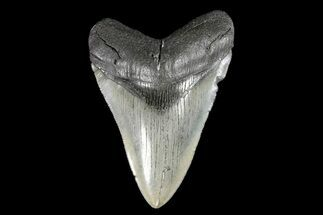 "Buy Serrated, 4.75"" Fossil Megalodon Tooth - South Carolina - #93511"