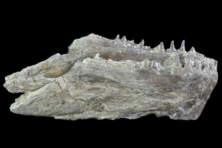 "5.4"" Ichthyodectes Mandible with Teeth - Kansas"