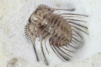 "1"" Kettneraspis Trilobite - Black Cat Mountain, Oklahoma For Sale, #94001"