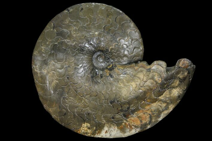 "9.5"" Triassic Ammonite (Discoceratites) Fossil - Germany"