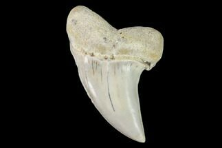 "1.6"" Mako Shark Tooth Fossil - Sharktooth Hill, CA For Sale, #94727"