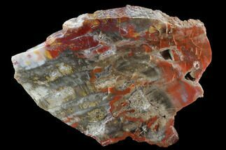 "7.7"" Vibrantly Colored, Polished Petrified Wood Section - Arizona For Sale, #95027"