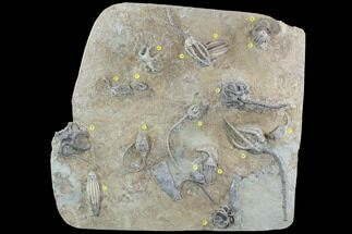 "Buy Stunning 14.3"" Crinoid Plate (10 species) - Crawfordsville - #95203"