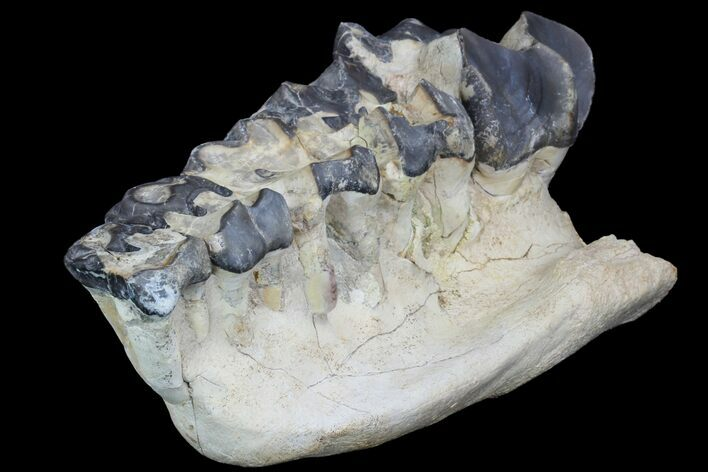 "11.1"" Titanothere (Megacerops) Jaw Section - South Dakota"