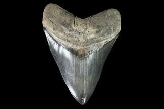 "Serrated, 4.96"" Fossil Megalodon Tooth - Collector Quality Tooth For Sale, #95492"