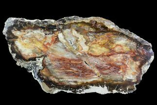 "Buy 14.8"" Colorful, Polished Petrified Wood Slab - Cherry Creek, NV - #96070"
