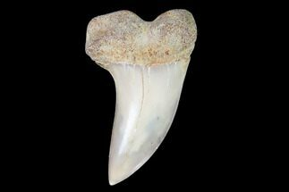 "1.5"" Mako Shark Tooth Fossil - Sharktooth Hill, CA For Sale, #94664"