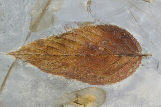 "2.8"" Detailed Fossil Hackberry Leaf - Montana For Sale, #95219"