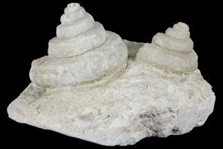 Buy Two, 3D Mississippian Gastropods (Euomphalus) - Humboldt, Iowa - #94762
