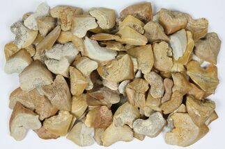 Buy Wholesale Lot: Fossil Crow Shark (Squalicorax) Teeth - 100 Pieces - #96664