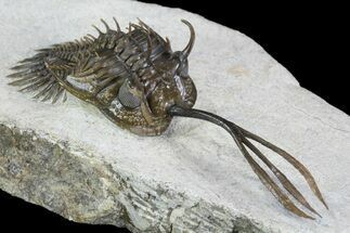 Walliserops trifurcatus  - Fossils For Sale - #96819