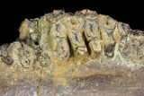"4.1"" Hadrosaur Jaw Section With Tooth Battery - #97048-2"