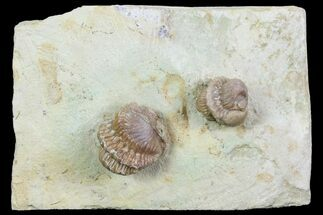 Buy Two Enrolled Kainops Trilobites - Oklahoma - #95923
