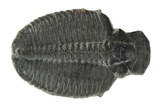 Elrathia kingii  - Fossils For Sale - #97113