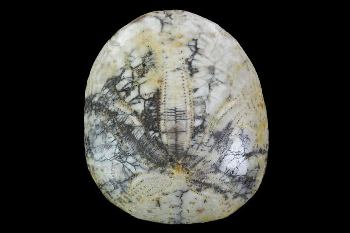 "1.25"" Polished Fossil Sand Dollar - California"
