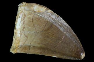 "1.3"" Mosasaur (Prognathodon) Tooth For Sale, #96785"