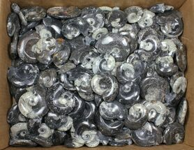 "Buy Wholesale Lot: Polished Goniatite Fossils 2-3"" - 161 Pieces  - #91324"