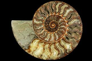 "Buy 7"" Cut Ammonite Fossil (Half) - Agatized - #97753"