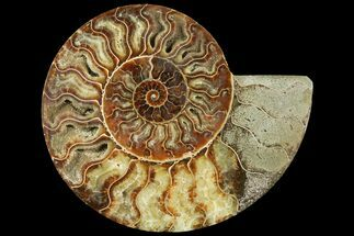 "7"" Cut Ammonite Fossil (Half) - Agatized For Sale, #97754"