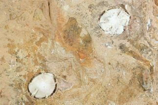 ".33"" Unidentified Fossil Seeds From North Dakota - Paleocene For Sale, #97928"