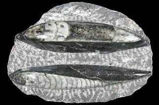 Buy Polished Orthoceras (Cephalopod) Fossils - Morocco - #96622