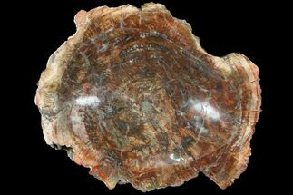 "8.2"" Polished Madagascar Petrified Wood Dish - Madagascar For Sale, #98291"