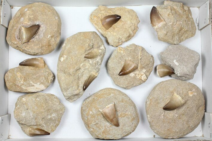 "Wholesale Lot: 1.5"" Fossil Mosasaur Teeth In Rock - 10 Pieces"