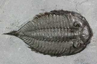 "2.1"" Dalmanites Trilobite Fossil  - New York For Sale, #99020"
