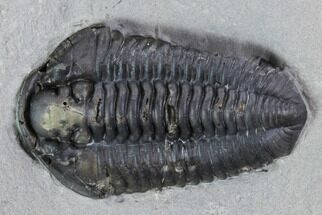 "Buy 1.35"" Calymene Niagarensis Trilobite - New York - #99034"